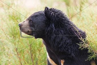 Asian Black Bear portrait