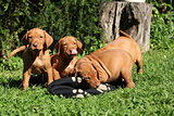 Puppies of Hungarian Short-haired Pointing Dog (Vizsla)