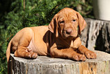 Hungarian Short-haired Pointing Dog puppy lying