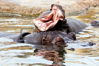 Hippopotamus or hippo