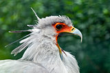 Secretarybird or secretary bird