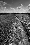 Rice field black and white