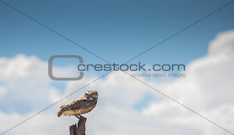 Owl on a pole