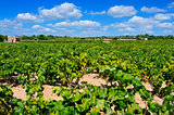vineyard in Tarragona, Catalonia, Spain
