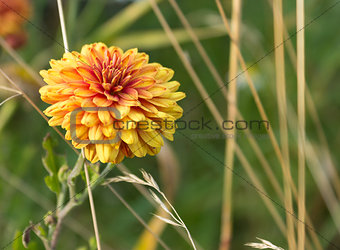 Background with a bright orange-yellow aster