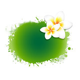 Frangipani Flower With Green Blob