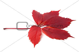 Autumn red leave isolated on white background