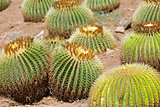 Golden barrel cactuses