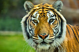 The Big Bengal Tiger head