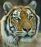 The Big Bengal Tiger portrait