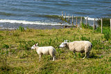 Sheeps at a dike, the Netherlands