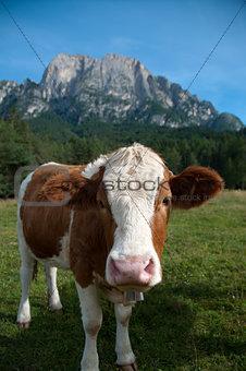 Fleckvieh cow