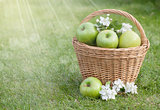 Ripe green apples with flowers in basket