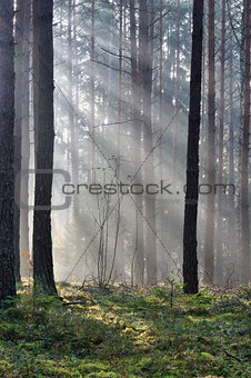 Autumn mist in forest