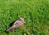 Small dead sparrow in a garden