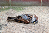 Dead tree sparrow by a brick wall