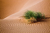 Plant in Sand Dunes