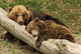 sleeping bear cub