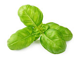 Fresh basil leaves isolated