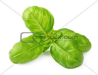 Fresh basil leaves isolated