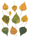 yellow birch leaves isolated over white