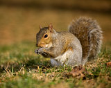 Nibbling squirrel