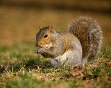 Nibbling squirrel