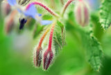 Blue Borage flower