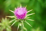 pink milk thistle flower