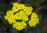 yellow Yarrow Achillea flower