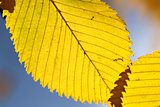 yellow leaves macro