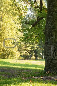 old oak tree in the park