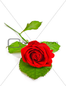 red rose with green leaf