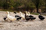 Ducks on rural road