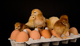 Baby Chickens on a Dozen Eggs in Carton