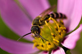 Honeybee on a pink flower