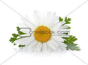 Chamomile flower with leaves