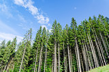 pine forest under cloudy blue sky in mountain