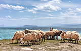 Sheep in a flock near the ocean