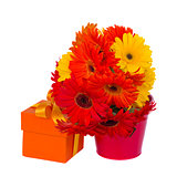 gerbera flowers in pot with gift box