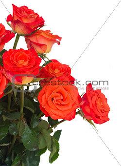 bright orange  roses close up