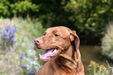 Closeup of a Vizsla Dog Outside in Autumn