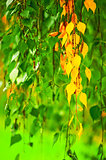 Yellowing birch leaves on a background of green leaves