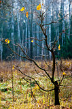 Late autumn. Rare yellow oak leaves on a small tree