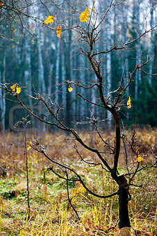 Late autumn. Rare yellow oak leaves on a small tree