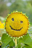 Sunflower with smiley face on natural green background