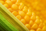 Sweey yellow corn cobs macro