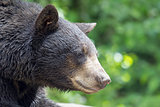 America Black Bear Portrait Closeup