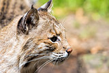 Bobcat Portrait Closeup
