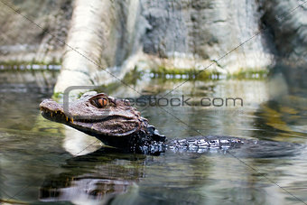 Alligator Young Swimming